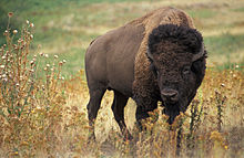 220px-American_bison_k5680-1