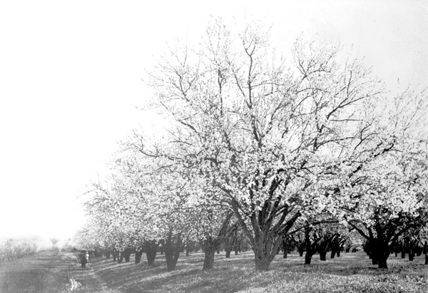sc10658 Almond Orchard, Bidwell Ranch ca 1895