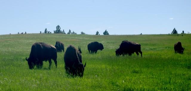 buffalo-1-2