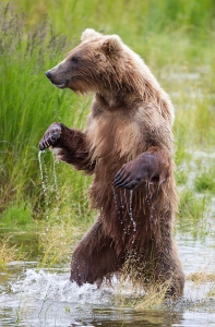 grizzly-bear-standing