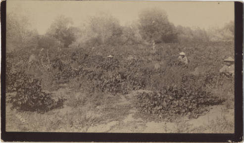 Chinese Workers on John Bidwell's Ranch. Special Collection, Meriam Library, CSUChico.