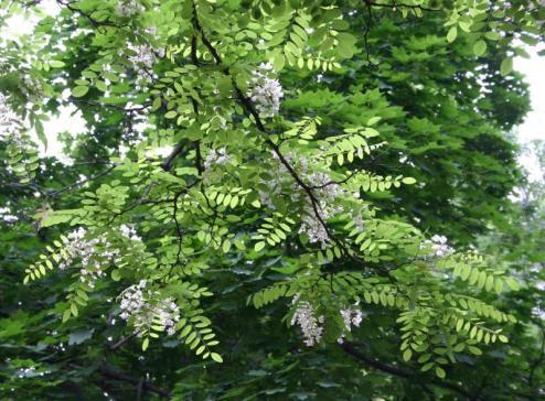 locust-tree3