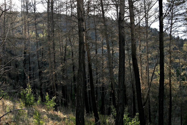 burnt_pine_forest