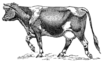 dairy_cow_vintage_clipart_1