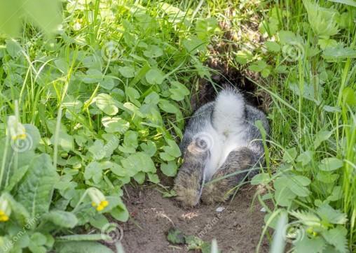 rabbit-rabbit-hole-gray-rabbit-hides-rabbit-hole-115679888