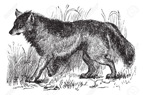 13770969-coyote-or-canis-latrans-or-american-jackal-or-prairie-wolf-vintage-engraving-old-engraved-illustrati